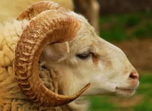 Comment cuisiner le mouton de l'Aïd ?